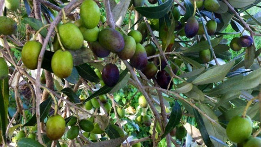 La raccolta delle olive e il nostro extravergine Solaria
