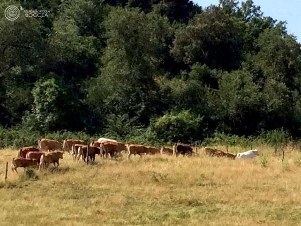 azienda agricola boccea ingrasso bovini al pascolo nel bosco