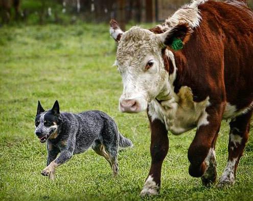 azienda agricola boccea agricoltura biologica roma vendita prodotti biologici cani pastore cattle dog