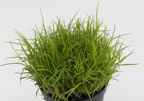 agricola-boccea-agricoltura bio roma-piante anti zanzare-erba-gatta