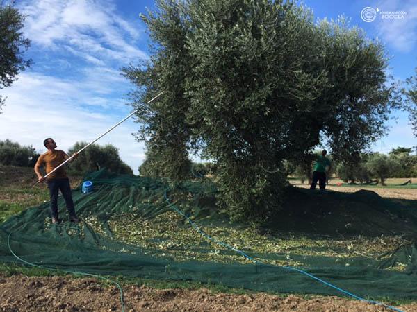 agricola boccea agricoltura bio olio bio solaria 2015 vendita roma copia
