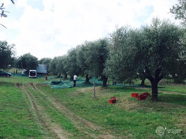 agricola boccea agricoltura bio olio bio solaria 2015 vendita roma7 copia