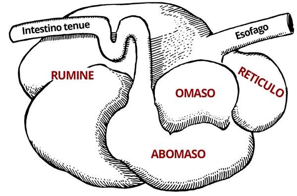 azienda agricola boccea agricoltura bio roma - stomaco-bovino-parti