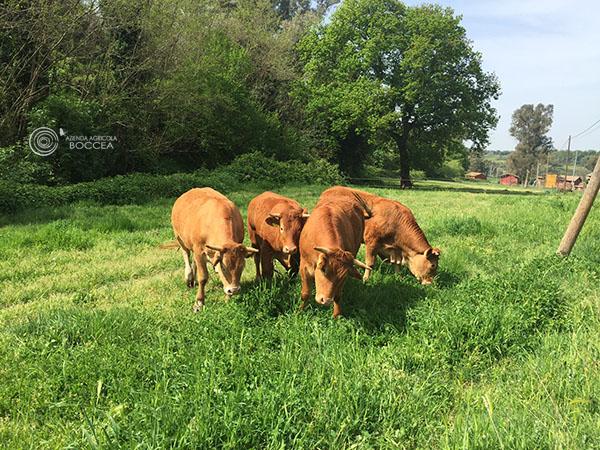 agricola-boccea-agricoltura biologica-biodinamica-roma-Grass Fed -allevamento-pascolo-3