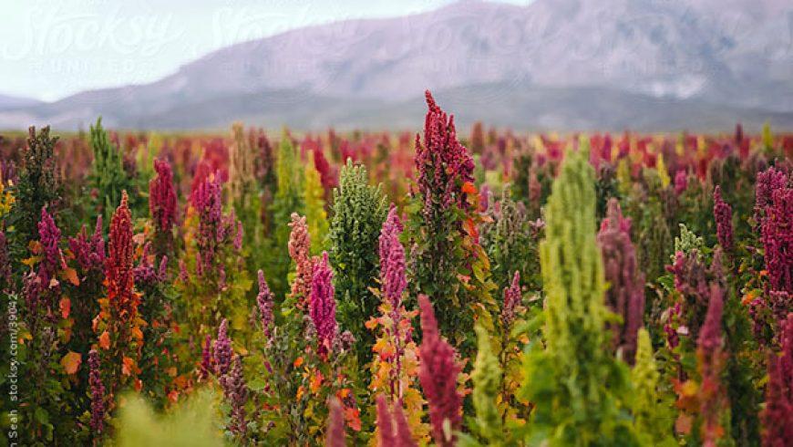 La Quinoa: il Falso Cerale