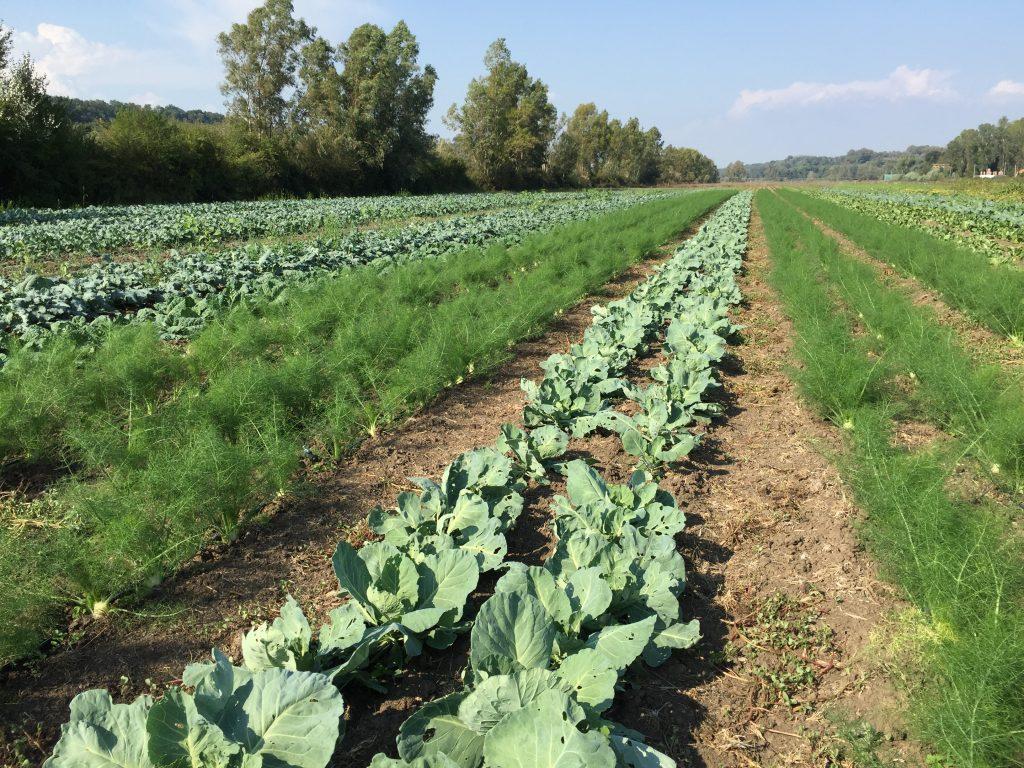 agricola-boccea-agricoltura-bio-roma-lazio-verdure-ortaggi-orto-bio-1