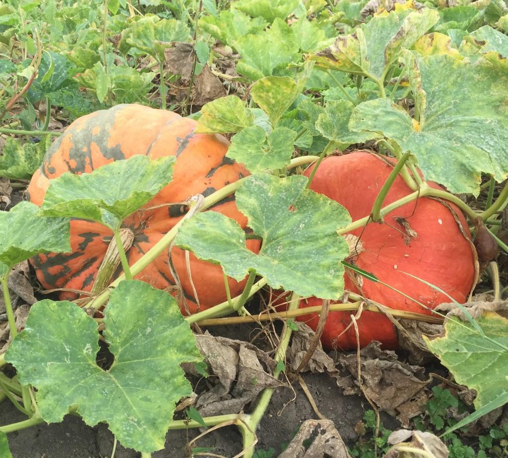 agricola-boccea-agricoltura-bio-roma-lazio-verdure-ortaggi-orto-bio