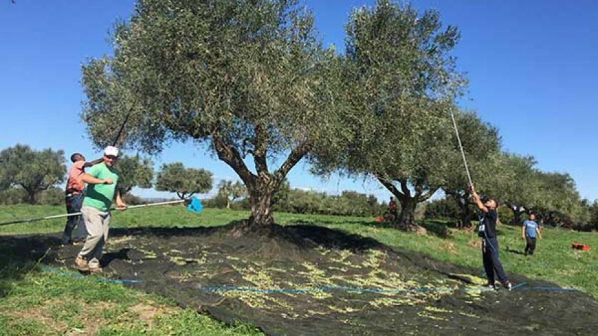 Olio Extravergine d'Oliva Biodinamico Solaria  2017 – Un'annata di Gran Qualità