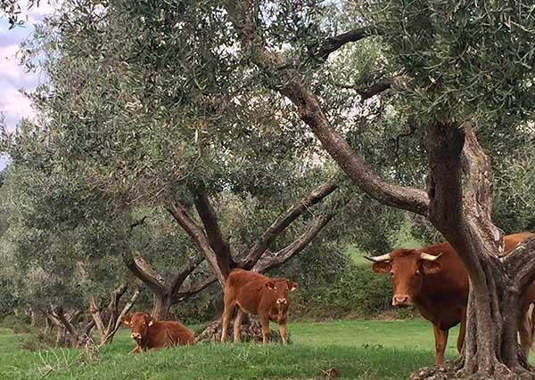agricola-boccea-olio-evo-biodinamico-solaria-2017-agricoltura-bio-roma-2