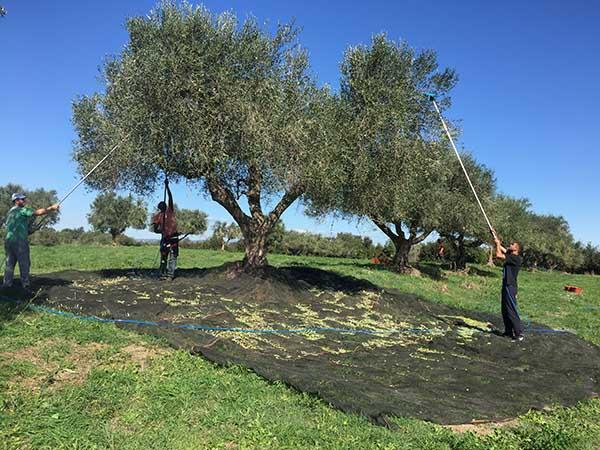 agricola-boccea-olio-evo-biodinamico-solaria-2017-agricoltura-bio-roma_