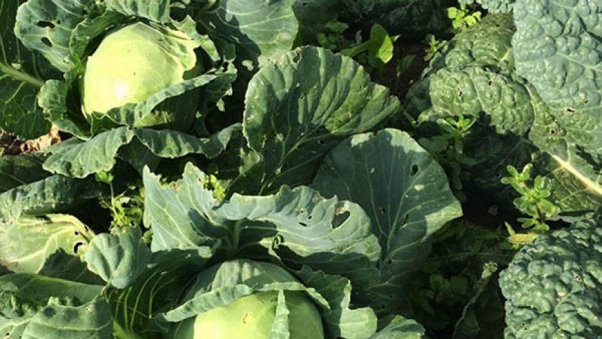 Il Cavolo delle Meraviglie, Una Verdura che Conosciamo da Sempre