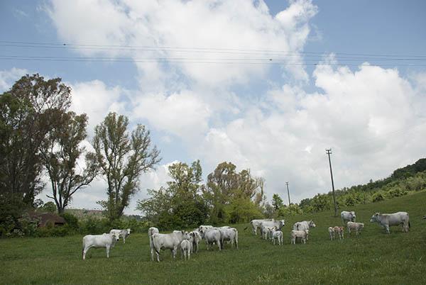 agricola boccea-agricoltura-biologica-biodinamica-roma-Grass-Fed-allevamento-pascolo-3