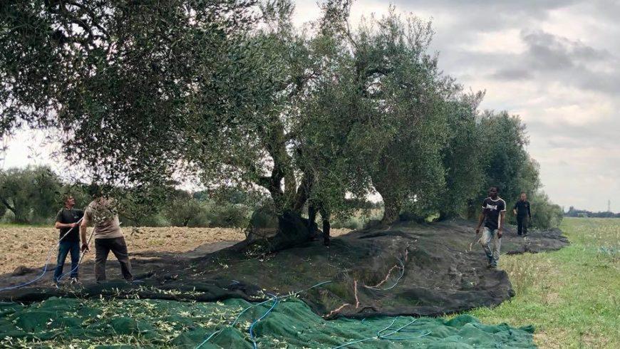 L'Olio Evo Biodinamico Solaria 2018 è di Nuovo un Grande Olio
