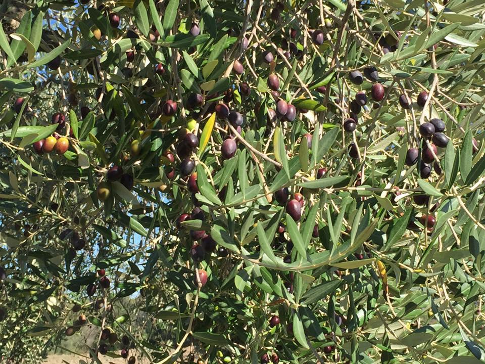 agricola boccea_ agricoltura bio olio evo biodinamico biologico solaria roma
