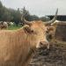 Le nostre bovine meticce