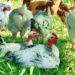 Un nuovo progetto: un piccolo allevamento di  polli ruspanti