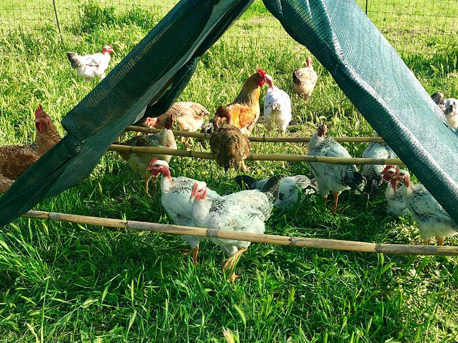 Azienda agricola boccea polli ruspanti