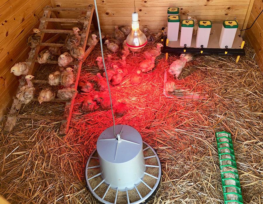 Azienda agricola boccea pulcini