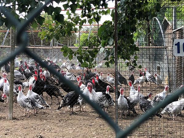 Polli, Anatre, Tacchini, Oche: Le Bellissime Razze Italiane Allevate nel Centro di Conservazione Delle Razze Avicole di Veneto Agricoltura