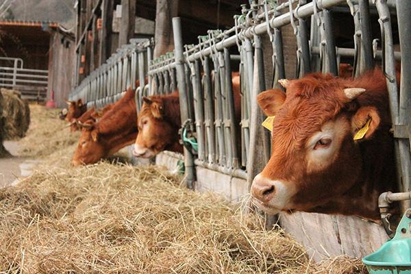 agricola boccea agricoltura bio roma allevamenti bovini bio
