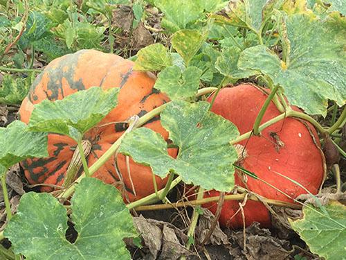 agricola boccea agricoltura bio roma - zucca moscata